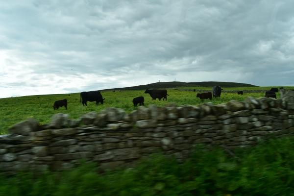 Weiden, Mauern, West Highland Rinder